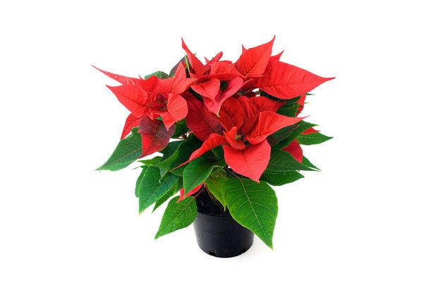 poinsettia_maceta