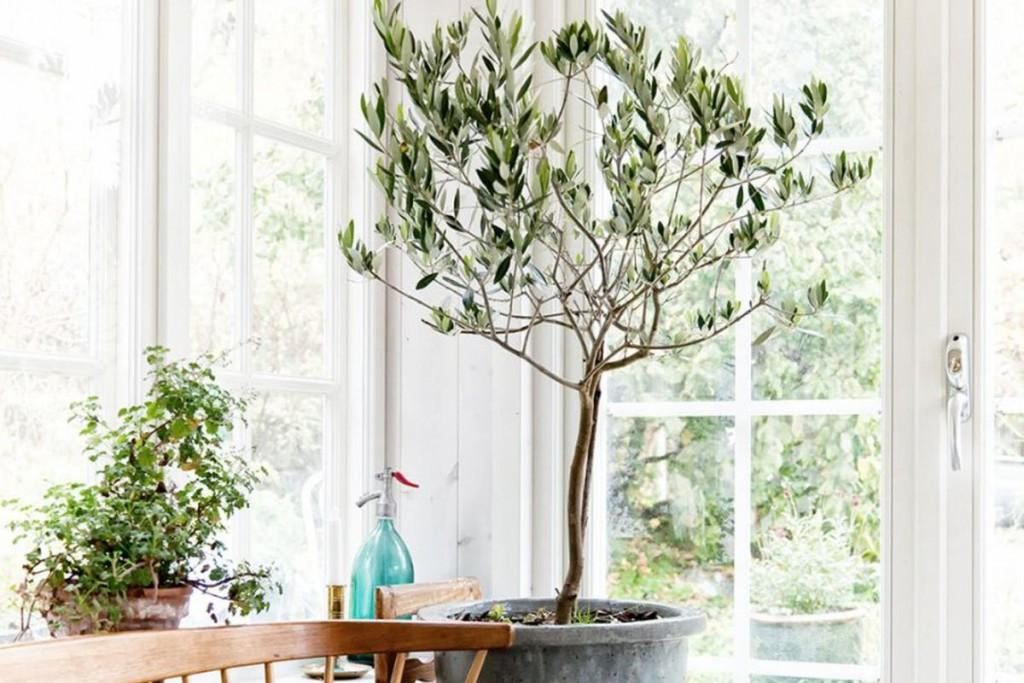Olive Tree Decor