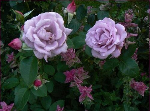 rosa blue moon Mainzer Fastnacht