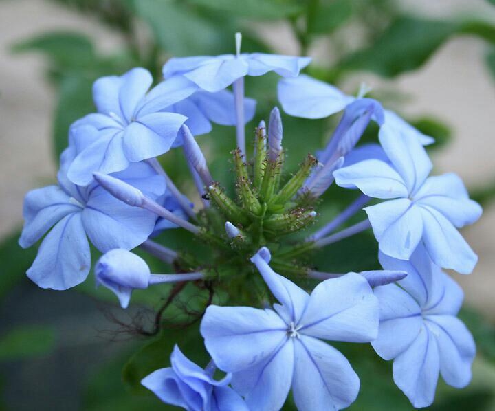 jazmin planta medicinal