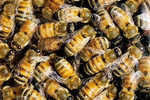 abejas roundup
