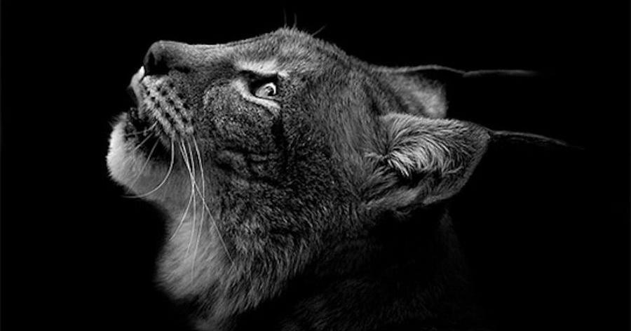 Inspiradores retratos a animales salvajes en blanco y negro