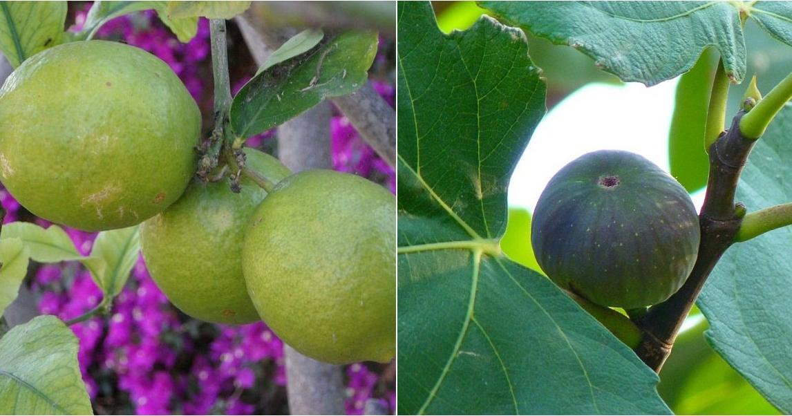 5 frutales de r pido crecimiento plantas for Cuales son los arboles perennes