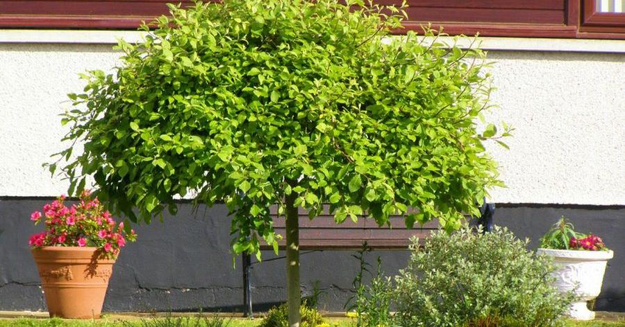 Clases de arboles de tilo for Arboles jardin pequeno