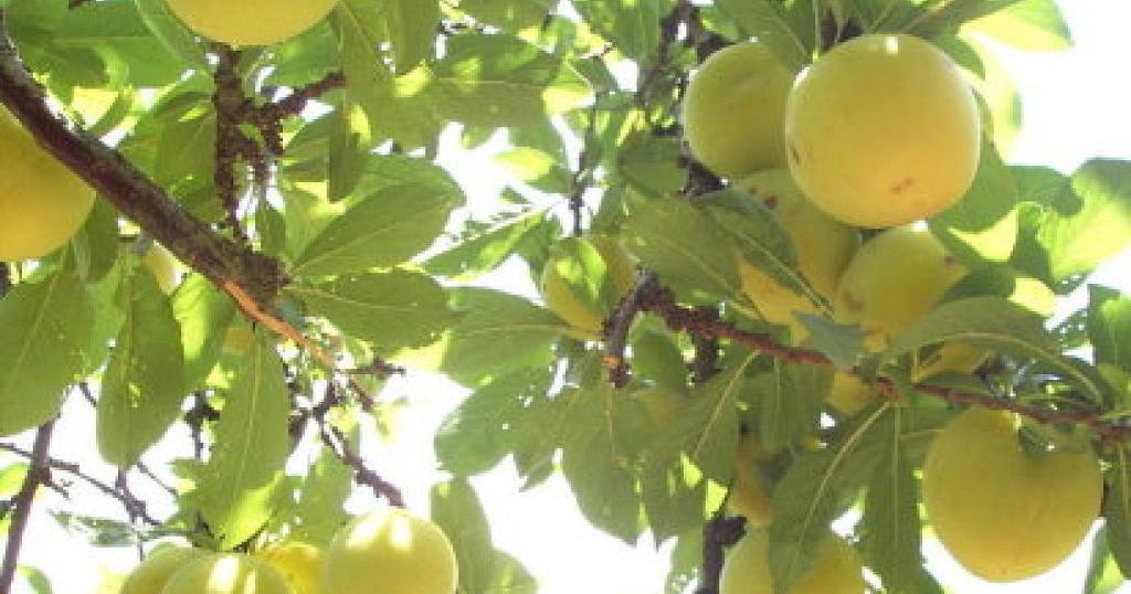 Rboles frutales plantas - Plantar arboles frutales ...