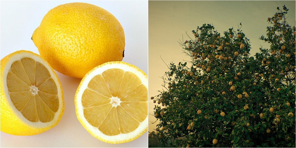 Información completa y cuidados del limonero