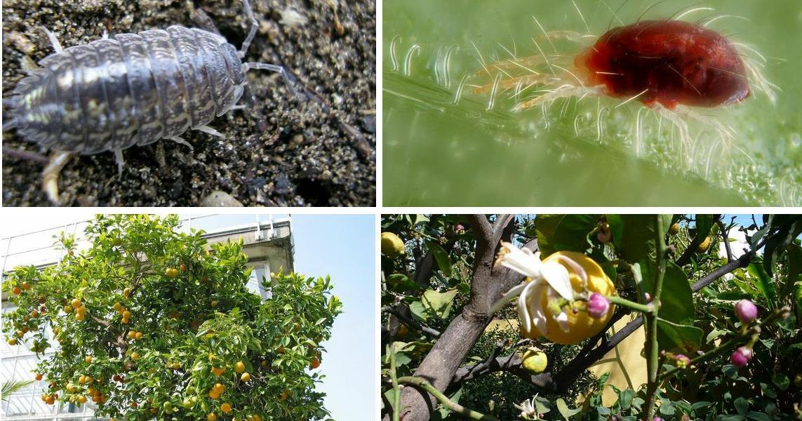 Cuidados del limonero c mo prevenir plagas y enfermedades - Enfermedades de las plantas de interior ...
