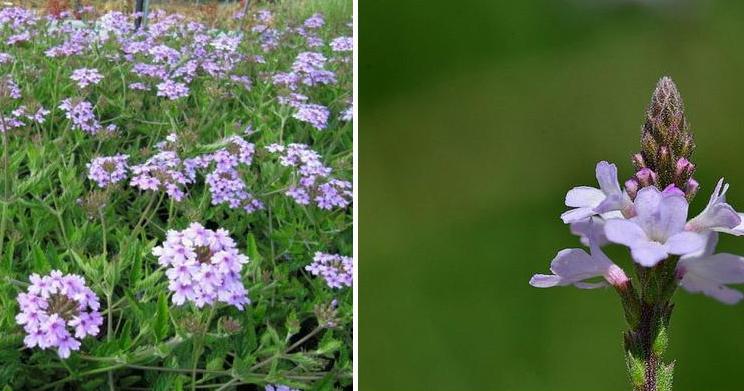 Verbena officinalis - Planta verbena cuidados ...