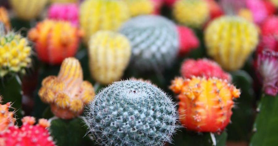 Cuidados básicos e importantes para los cactus