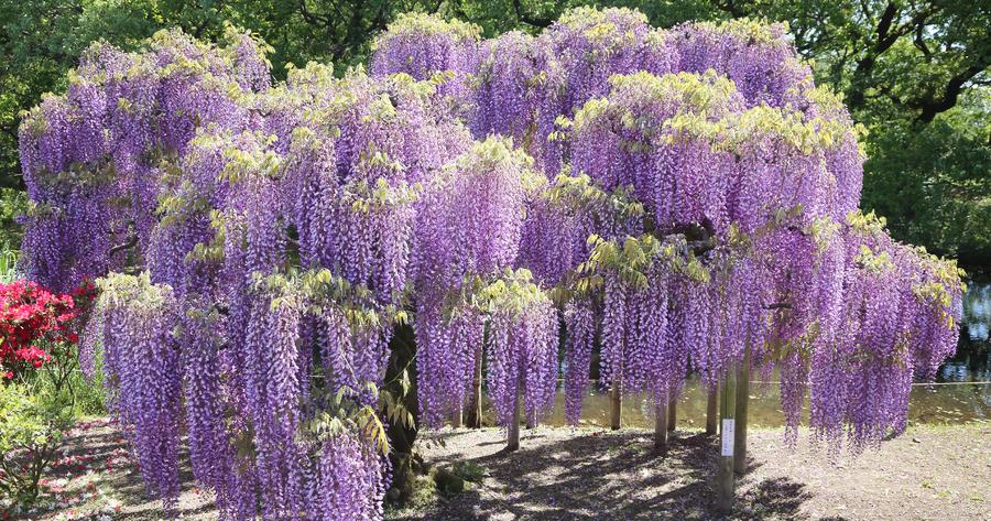 Flor san vicente for Glicina planta