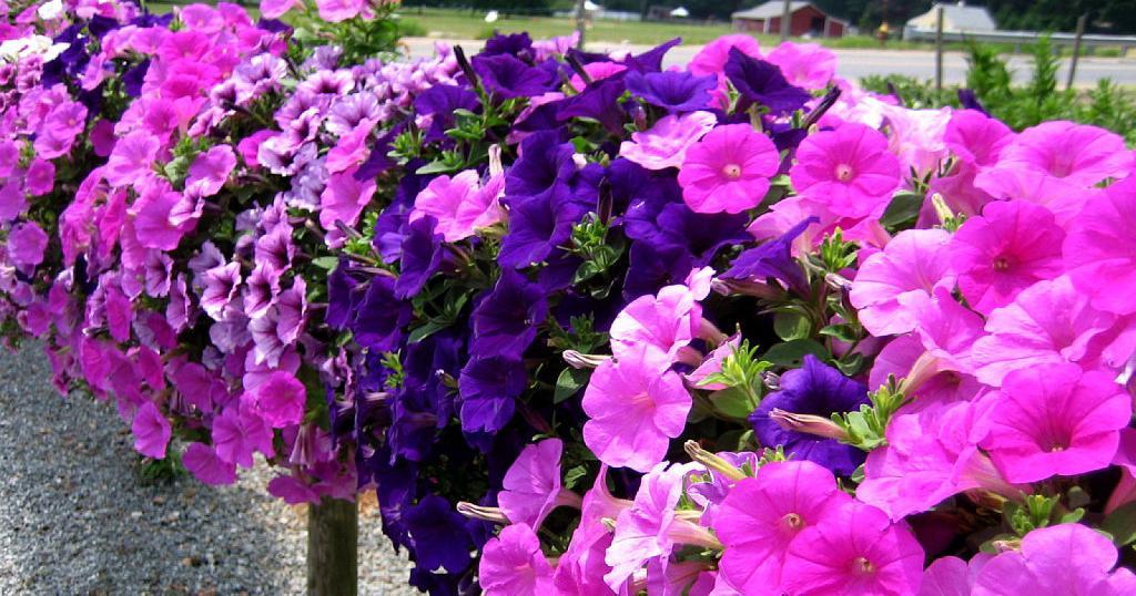 Las petunias | Plantas