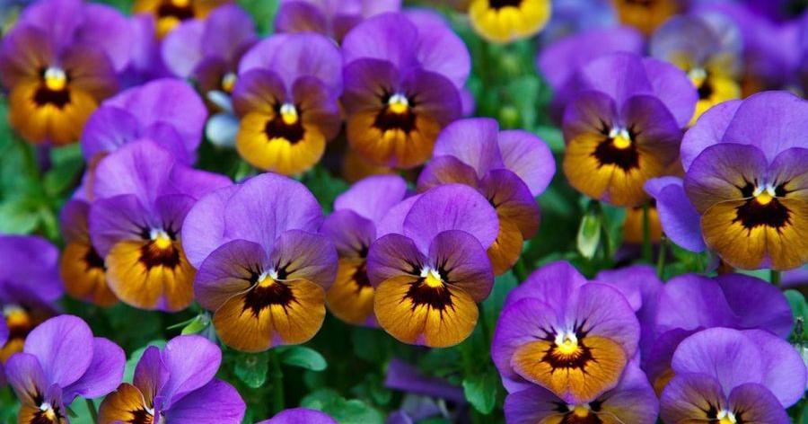 Información sobre una de mis plantas preferidas, el pensamiento