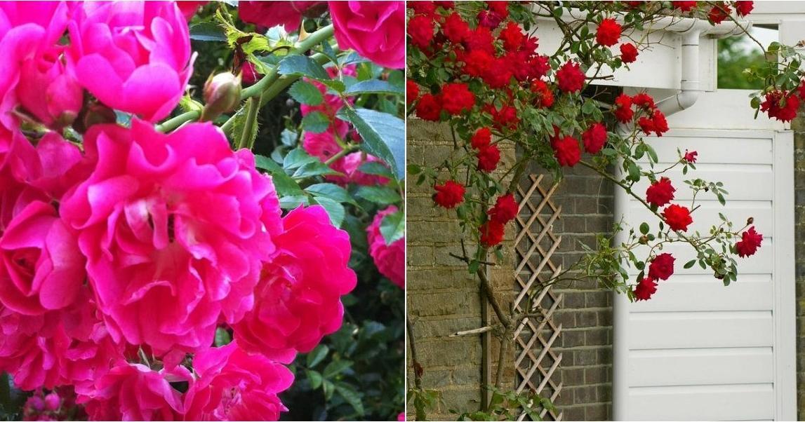 Cómo elegir el mejor y más bello rosal trepador para tu jardín