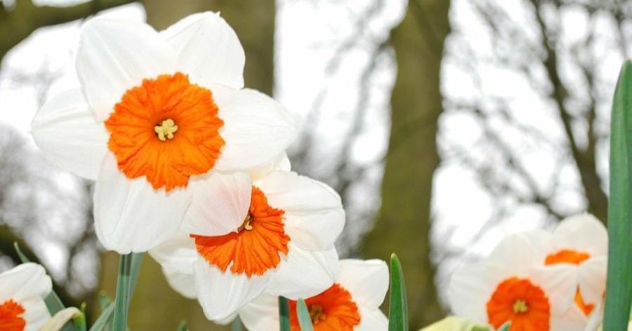 el narciso es una flor de belleza legendaria disfruta de l en tu casa