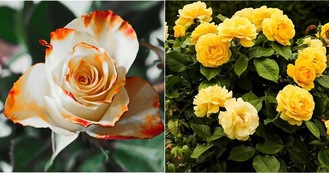C mo plantar los rosales plantas for Jardin los rosales