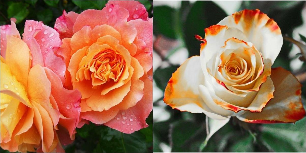 Secretos de la poda de los rosales o cómo hacerlo en el momento exacto