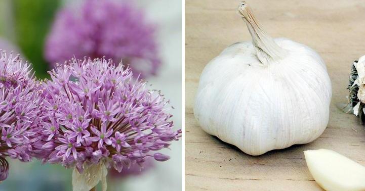 Cómo cultivar ajos en casa. ¡Recomendadísimo!