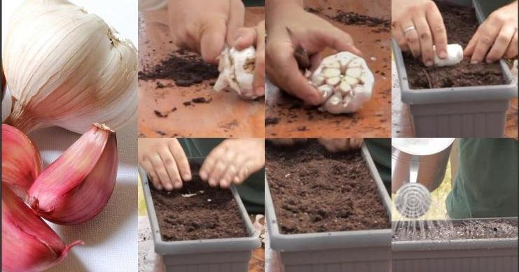 Cómo germinar piña, lechuga, zanahoria, ajo y albahaca. ¡No vuelvas a comprarlos JAMÁS!