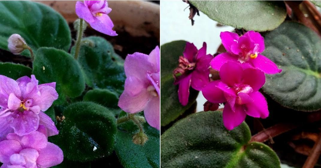 10 trucos para el cultivo de las maravillosas violetas africanas