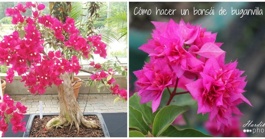 ¿Quieres hacer un bonito bonsái de buganvillas? ¡Apunta el paso a paso!