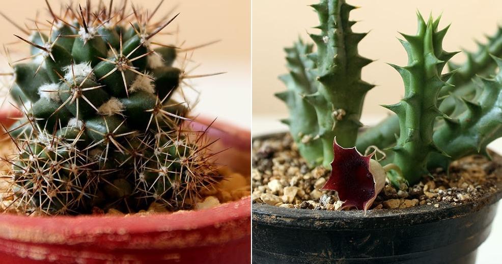 3 métodos para multiplicar cactus y suculentas SIN FALLOS