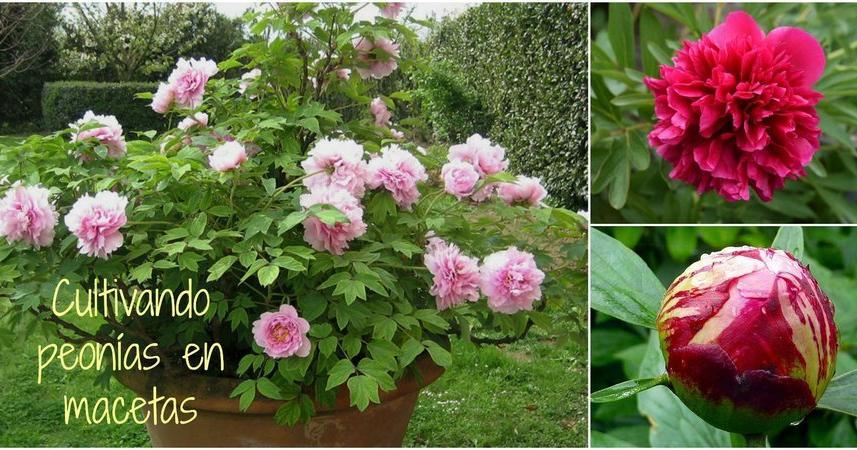 C mo cultivar peon as en macetas plantas for Plantas decorativas en leroy merlin