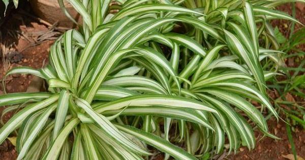 Propiedades de la malamadre plantas for Plantas paisajismo