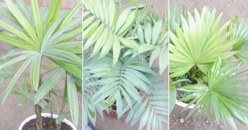 Tipos de plantas de interior - Planta interior palmera ...