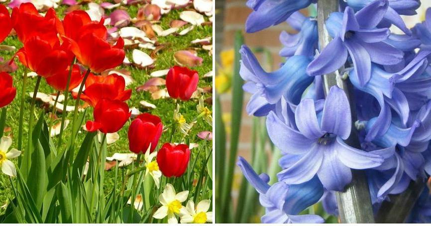 Jacinto narciso y tulip n plantas for Jacinto planta interior