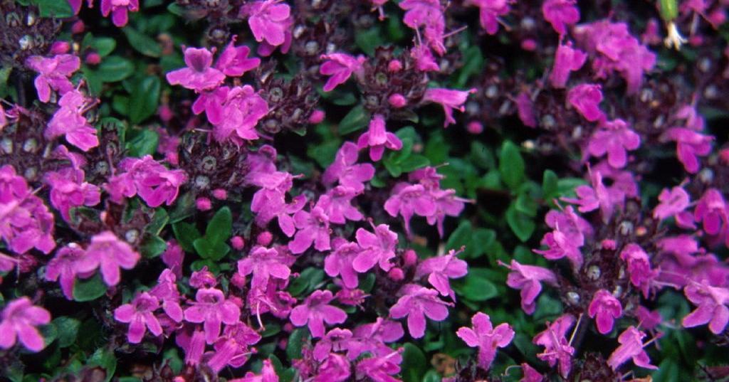 Serpol tomillo salvaje plantas - Plantas aromaticas interior ...