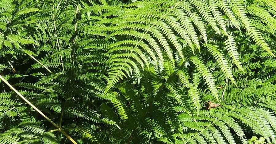 Tipos de helechos plantas for Plantas ornamentales mas comunes