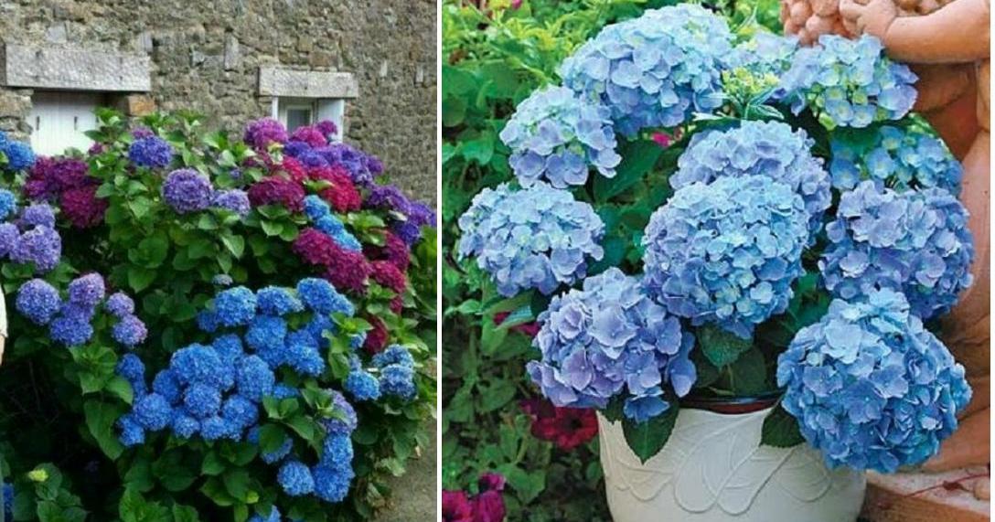 Las hortensias son mucho más que bellas ornamentales