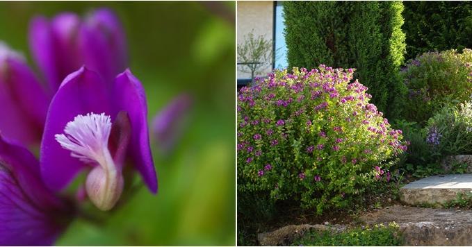 Bendición de arbusto que florece durante todo el año
