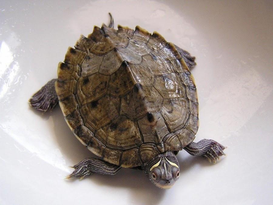 Especies de tortugas dom sticas mascotas for Tartarughe razze