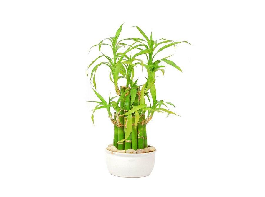 El bambú | Plantas