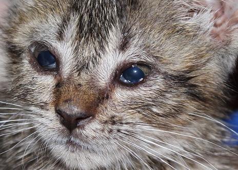medicamentos para bajar la fiebre en gatos