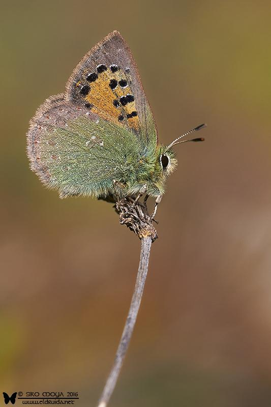 Boloria euphrosyne (Provence hairstreak)