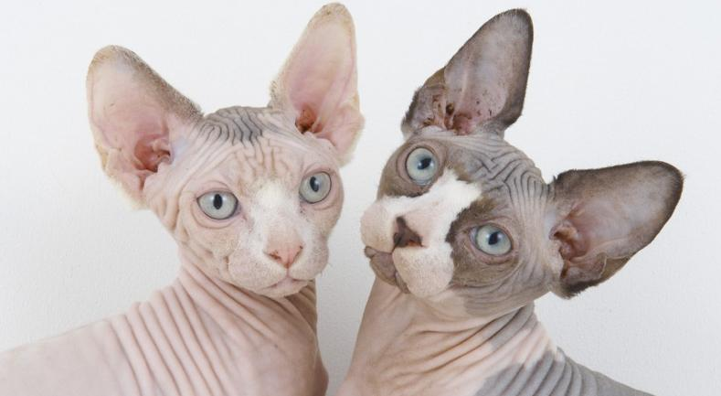 Sphynx o Gato Esfinge | Best for Pets