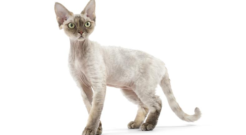 Devon Rex | Best for Pets