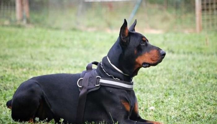 doberman con parasitos