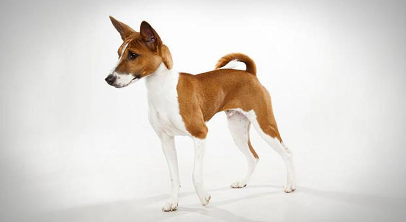 Basenji, un perro que no ladra | Best for Pets