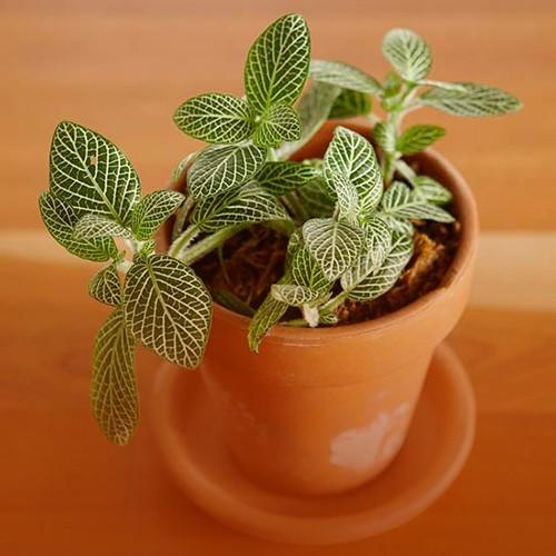 Fitonia Fittonia