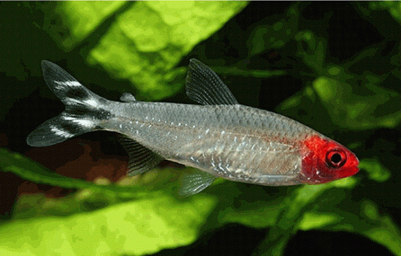 pez borrachito, Hemigrammus rhodostomus