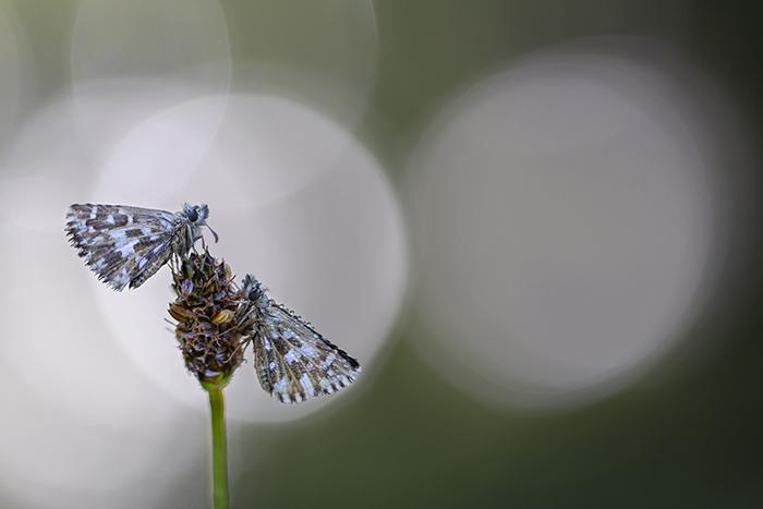 Pareja de Pyrgus malvoides (couple of Southern Grizzled Skipper butterflies)