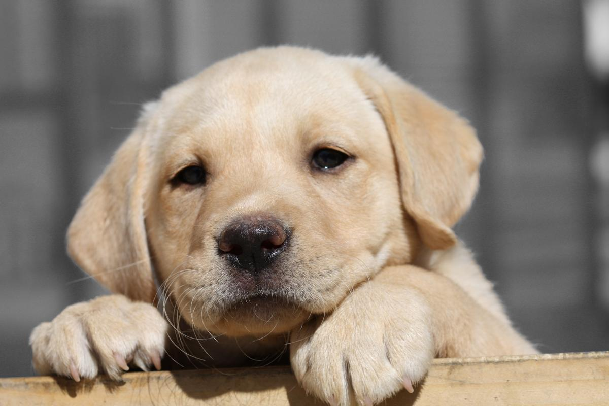 Labrador Vs Golden Retriever Best For Pets Mascotas