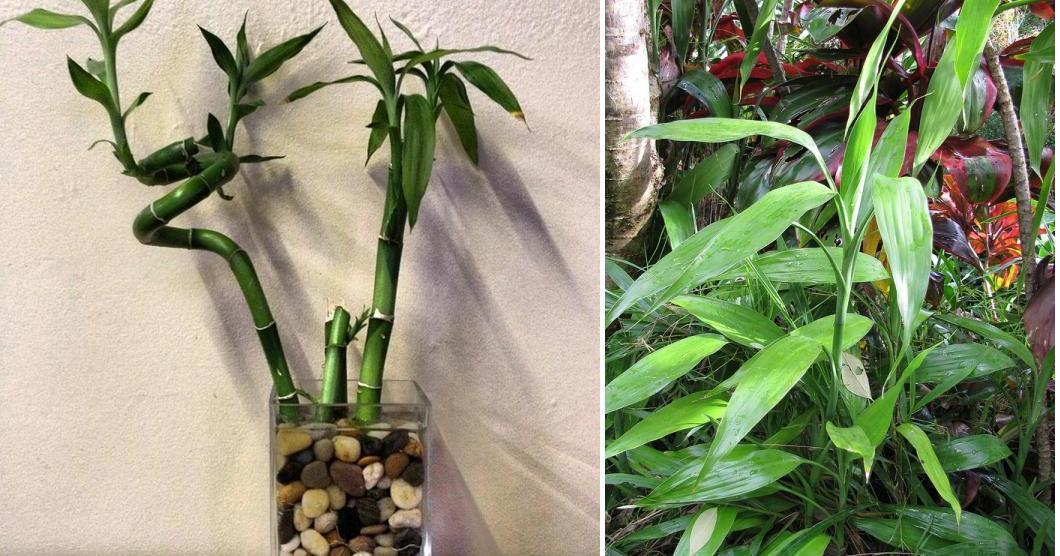 Ideas de plantas - Bambu cuidados en maceta ...