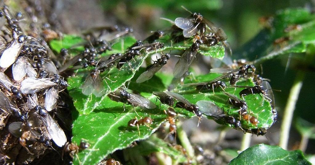 20 métodos efectivos contra hormigas