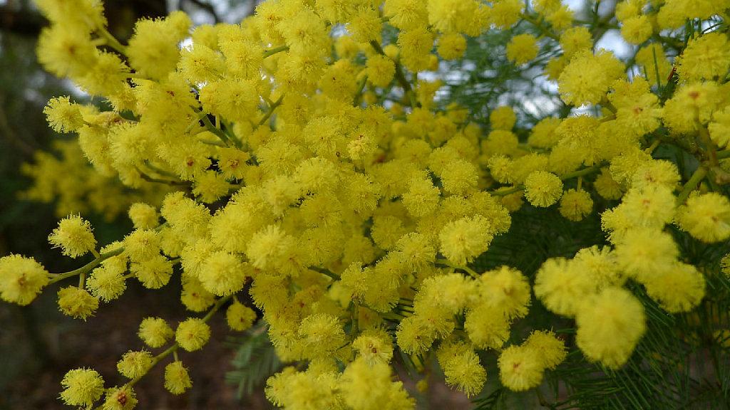 La Acacia Un árbol Ornamental Plantas