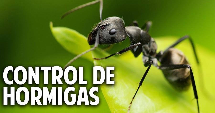Los 6 mejores remedios caseros contra hormigas