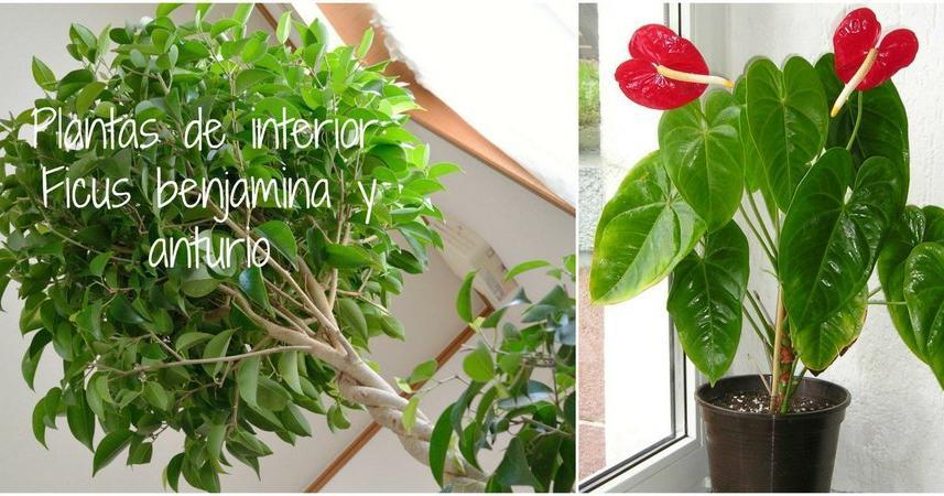 Ficus benjamina en exterior for Ficus interior cuidados